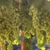 Weinanbau und die Weinherstellung in Israel